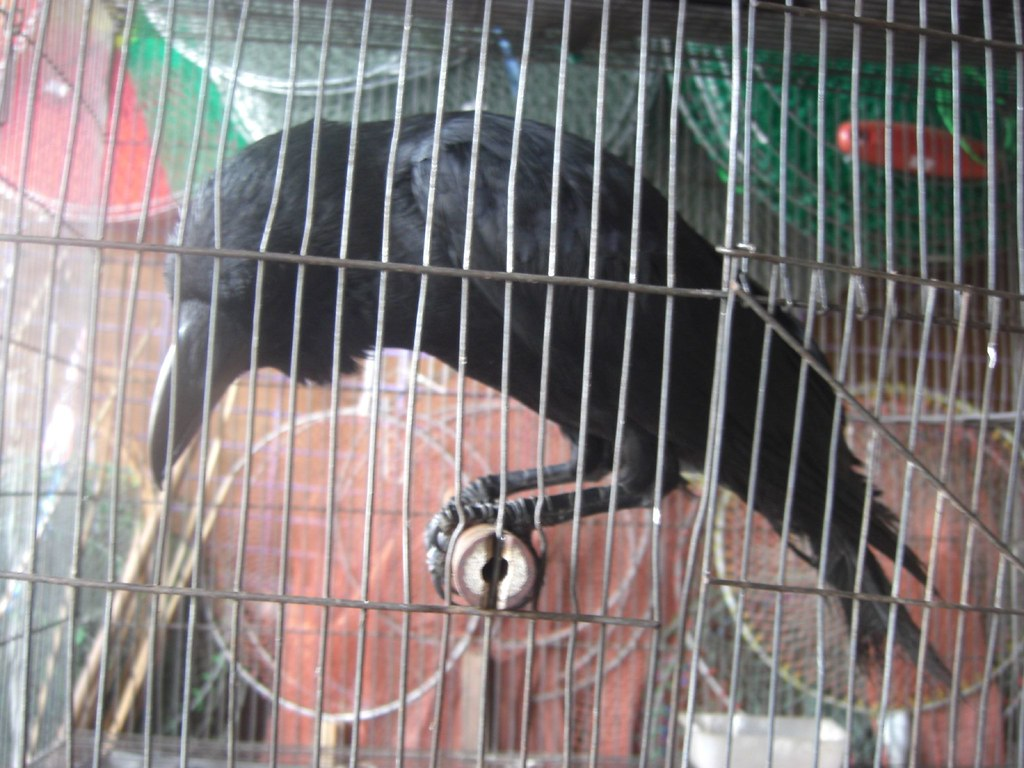 Raven in a Cage – Day 9